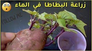 روعة، زراعة البطاطا في الماء 🔥 لا تضيع فرصة مشاهدة الفيديو