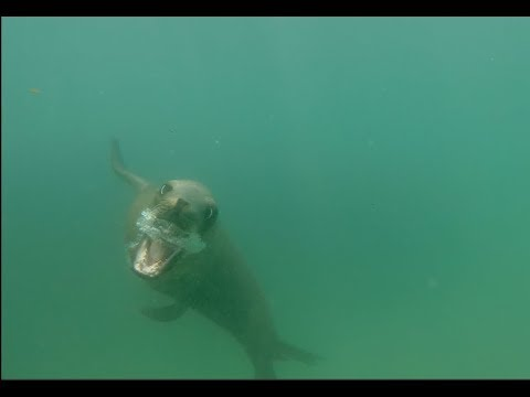 Sea Lion Intimidates Surfer In Huntington Beach California When He Swims To Close.