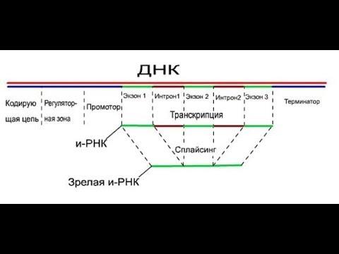 Вопрос: Какое отличие генов прокориот от эукориот?