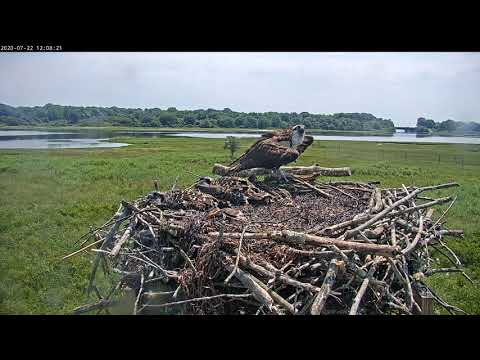 July 22, 2020 female alarm call while chicks play dead