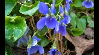 Fiori di primavera.WMV