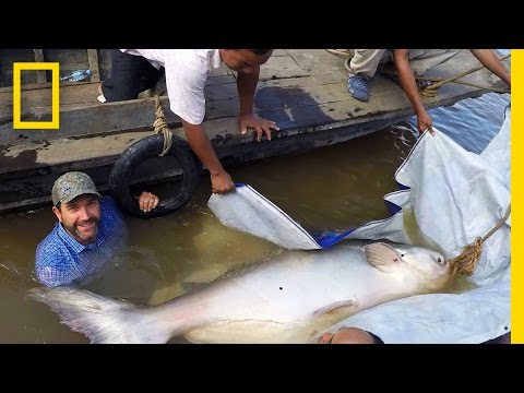 Rare Giant Catfish Found In Cambodia | National Geographic