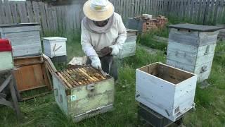 Через четыре недели  Отводок на старую матку. Кемеровская система пчеловодства