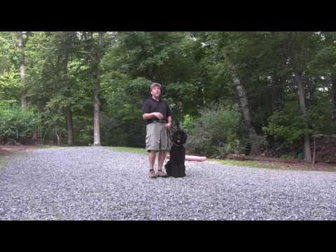 Standard Poodle Dog Training Statesville NC