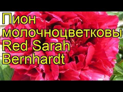 Пион молочноцветковый Red Sarah Bernhardt. Краткий обзор, описание характеристик, где купить саженцы