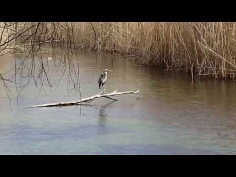 Ο στακτοτσικνιάς και οι φαλαρίδες του Αλμυρού