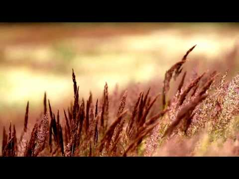 relaxing view feathers grass dancing with the wind in the field mp3