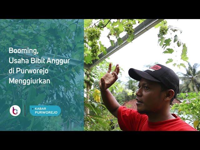 Booming, Usaha Bibit Anggur di Purworejo Menggiurkan