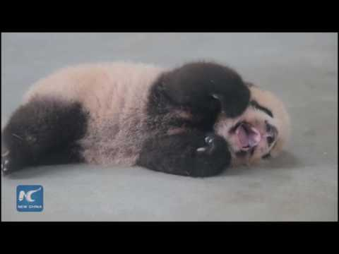 Cute: First giant panda born in Shanghai turns 100 days old