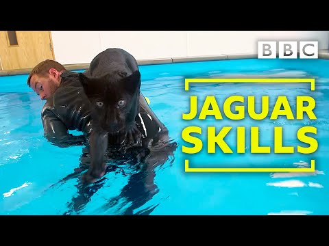 Baby Jaguar's very  first swim - Big Cats about the house - BBC Two