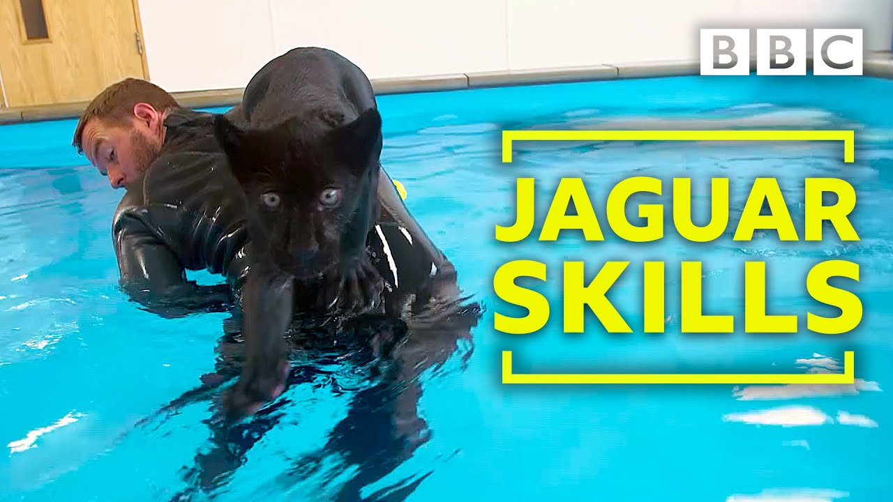 1bee6a679a Baby Jaguar s very first swim - Big Cats about the house - BBC Two ...