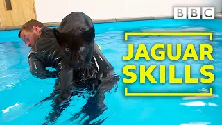 Baby jaguar's very first swim - BBC
