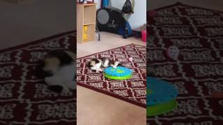 Calico Cat Playing