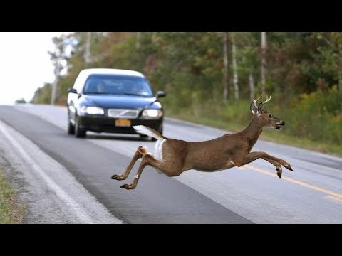 Incidentally Deer Go Through the Road - NEW Compilation