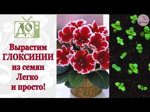 Выращивание ГЛОКСИНИИ из семян. Весь процесс от посева до всходов