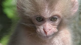 【SNOW MONKEY】 ☆Cute Baby☆ Birth 6 地獄谷野猿公苑