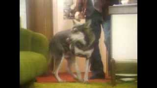 The Littlest Hobo Season 1 Episode 17 Million Dollar Fur Heist