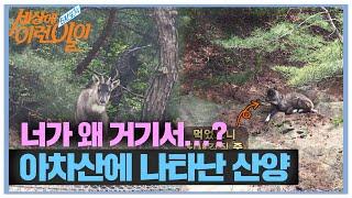 600년 역사 서울에 나타난 멸종 위기 1급 '산양'?…