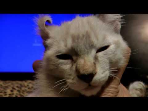 Lynx Hybrid - Rare & Exotic white Highlander Kitten 7 Weeks Old