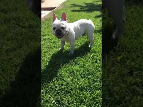 Platinum Lilac French Bulldog