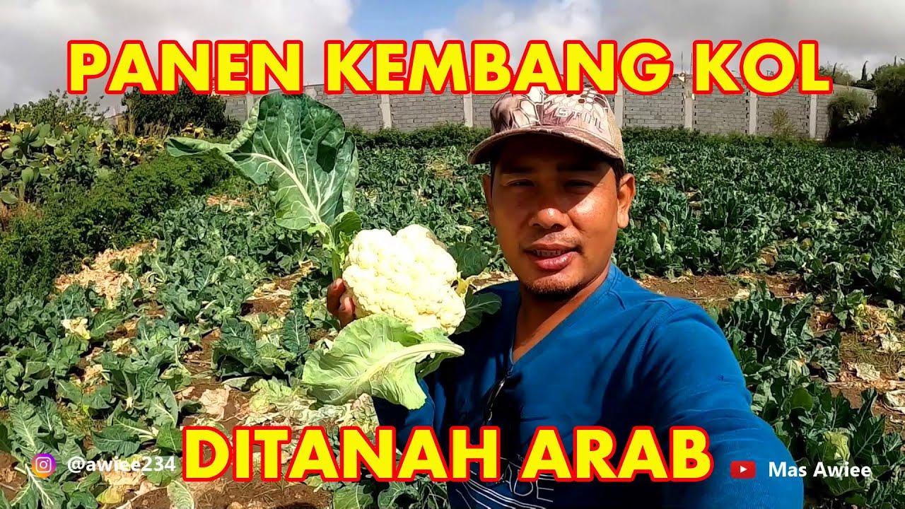 TAK DISANGKA TANAH ARAB TUMBUH SUBUR KEMBANG KOL || EDISI PANEN SAYUR
