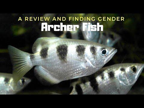 The Most Clever Aquarium Fish | Archer Fish...