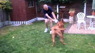 Dogue De Bordeaux Shrimpmyster Zeus Playing Ball!