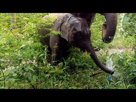 A Baby elephant learns how to drink from a water pipe with his mom