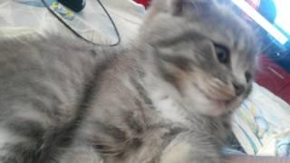Куплю вислоухого котёнка