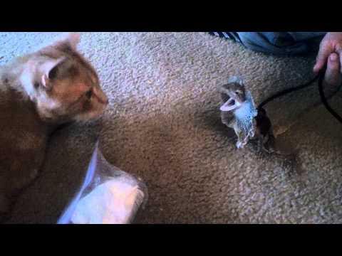 Frilled Lizard VS Cat -Freak on a Leash