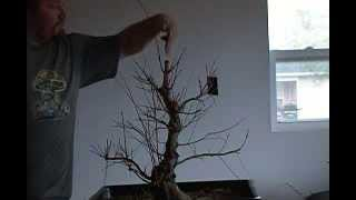 Bonsai styling japanese maple coral bark pt 9