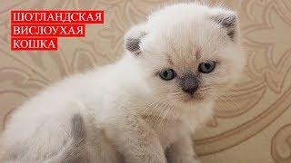 Шотландская Вислоухая Кошка | Бесконечная Любовь | Scottish Fold Cat | Endless Love