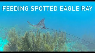 Amazing Spotted Eagle ray feeding up close in shallows on Bonaire thumbnail