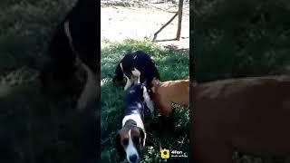 Dog sex, Indian Funny Videos, WhatsApp Status - 4Fun