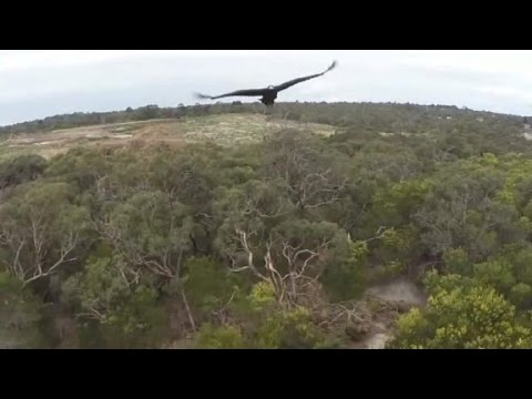 Eagle knocks drone out of sky
