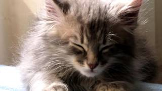 Kitten Meowing Sound - High Quality