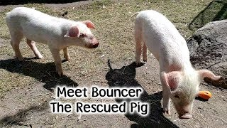 Bouncer The Pig - Rescued After Falling Off The Hog Truck