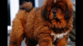 King Dogs - Tibetan Mastiff puppy - Funny Dogs Compilation