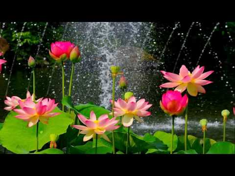 Lotus flower sound therapy meditation and relaxation music youtube lotus flower sound therapy meditation and relaxation music mightylinksfo