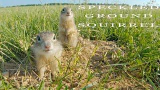 Speckled ground squirrel. Funny animals.