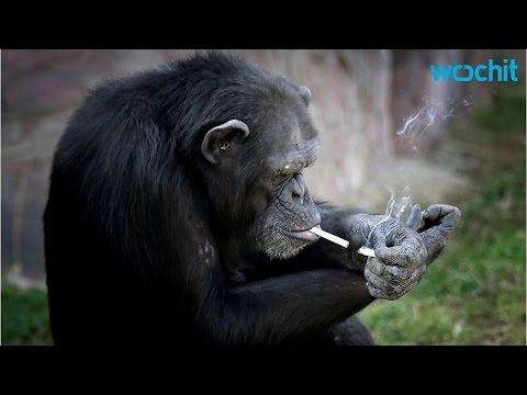 Meet Azalea The Smoking Chimp, Star At North Korea Zoo