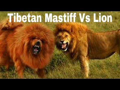 world-biggest-dog,-tibetan-mastiff-vs-lion-comparison|star-2-sun-2020