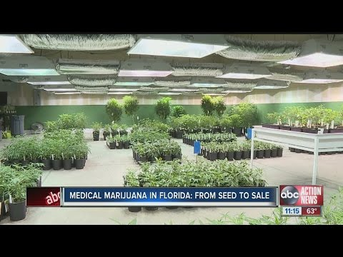 Medical marijuana in Florida: from seed to sale