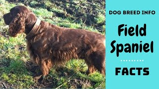 Field Spaniel dog breed. All breed characteristics and facts about Field Spaniel dogs