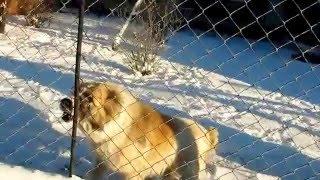 Злая собака 30 12 2015 года. Автор Плеханов Василий