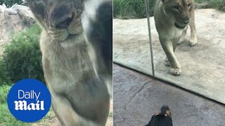 Tiny service dog attempts to protect owner from Lioness 'attack' - Daily Mail