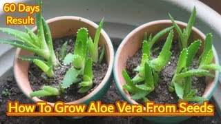 How To Grow Aloe Vera From Seeds !!! 60 days results