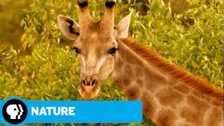 NATURE | Giraffes: Africa's Gentle Giants | Preview | PBS