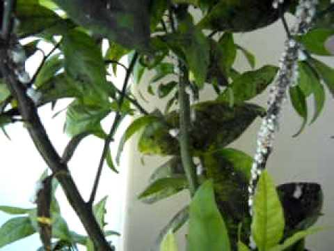 Citrus Pest Problems Pixie Mandarin Cottony Cushion Scale Part B Mov Avi