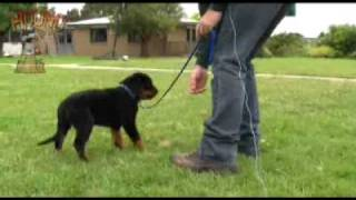 Dog training-Teaching a puppy to come and walk on lead www.sidneyaarons.com.au